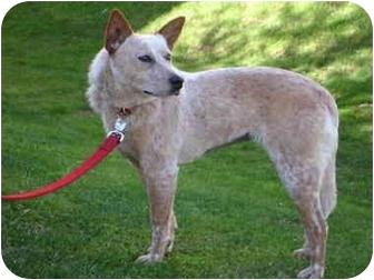 Australian Cattle Dog Mix Dog for adoption in Phoenix, Arizona - Sage