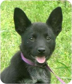 Border Collie Mix Puppy for adoption in Portsmouth, Rhode Island - Alice