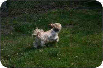 Shih Tzu Dog for adoption in Henrico, Virginia - Hailey