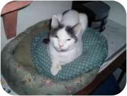 Domestic Shorthair Cat for adoption in Hamburg, New York - Roxxy