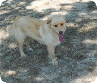 Golden Retriever Mix Dog for adoption in New Boston, New Hampshire - Santana
