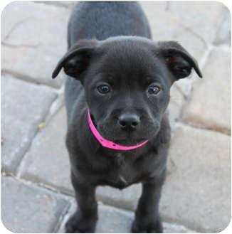 Labrador Retriever/Catahoula Leopard Dog Mix Puppy for adoption in West Palm Beach, Florida - DESTIN