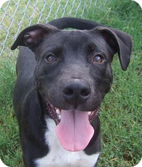 Labrador Retriever/American Staffordshire Terrier Mix Puppy for adoption in Watauga, Texas - Socks