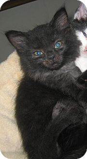 Domestic Longhair Kitten for adoption in Cincinnati, Ohio - Penny