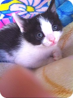 Domestic Shorthair Kitten for adoption in Irvine, California - RONNIE