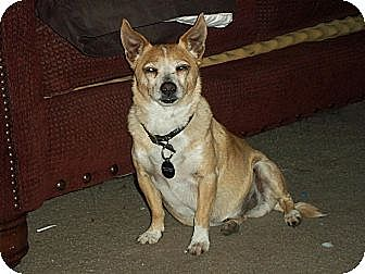 Chihuahua Mix Dog for adoption in Nuevo, California - Bruno