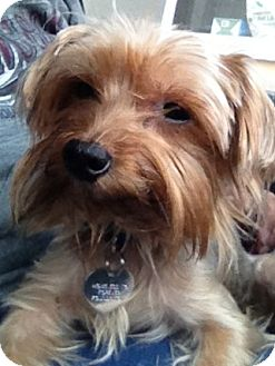Yorkie, Yorkshire Terrier Dog for adoption in Arcadia, California - Kai