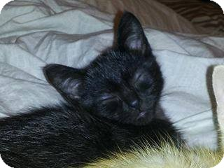 Domestic Shorthair Kitten for adoption in Huntley, Illinois - Derek