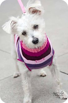 Maltese/Poodle (Toy or Tea Cup) Mix Dog for adoption in Fort Worth, Texas - PENNEE