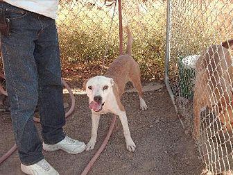American Staffordshire Terrier Dog for adoption in Golden Valley, Arizona - Dakkar