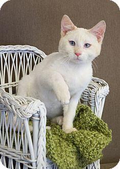 Domestic Shorthair Kitten for adoption in Nashville, Tennessee - Maximus