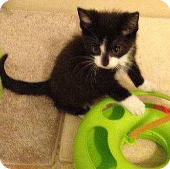 Domestic Shorthair Kitten for adoption in Hillside, Illinois - Bentley