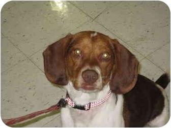 Beagle Mix Puppy for adoption in Elwood, Illinois - Chico URGENT