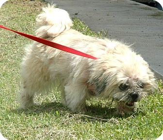 Shih Tzu Mix Dog for adoption in Spring City, Pennsylvania - Grace