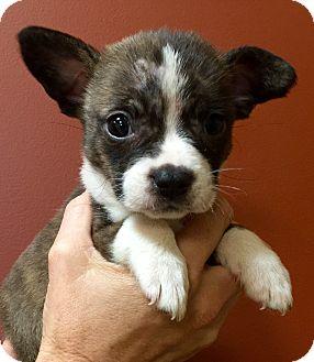 Boston Terrier/Pug Mix Puppy for adoption in Oswego, Illinois - I'M ADOPTED Lexi Kubacki