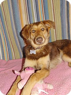 German Shepherd Dog/Australian Shepherd Mix Dog for adoption in Harrisburg, Pennsylvania - SHELBY