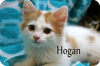 Domestic Longhair Kitten for adoption in Wichita Falls, Texas - Hogan