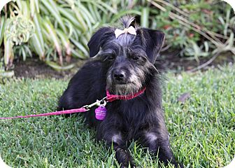 Cairn Terrier/Yorkie, Yorkshire Terrier Mix Puppy for adoption in Newport Beach, California - PATSY