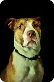 Terrier (Unknown Type, Medium) Mix Dog for adoption in Fort Smith, Arkansas - Bronx