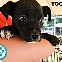 Adopt A Pet :: Tootie - Kimberton, PA