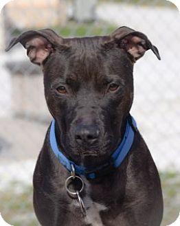 Pit Bull Terrier Mix Dog for adoption in Joplin, Missouri - Pancake Vtg 109186