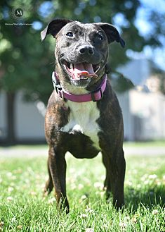 American Pit Bull Terrier Mix Dog for adoption in St. Louis, Missouri - Dove