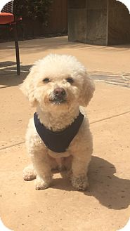 Miniature Poodle Dog for adoption in Carlsbad, California - Woody