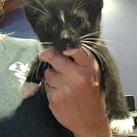 Domestic Shorthair Kitten for adoption in Hanna City, Illinois - Angus