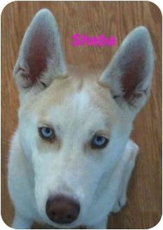 Husky Puppy for adoption in Poway, California - Sheba