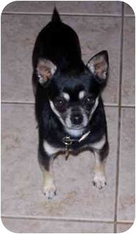 Chihuahua Dog for adoption in Tuttle, Oklahoma - Zip