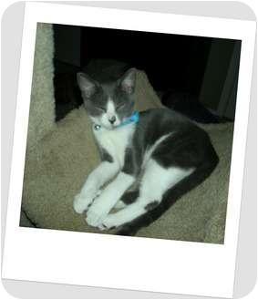 Domestic Shorthair Kitten for adoption in Hurst, Texas - Jubilant Jasper