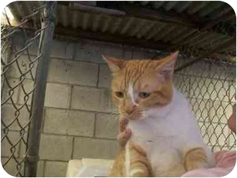 Domestic Shorthair Cat for adoption in LosAngeles, California - Cinders