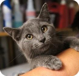 Russian Blue Kitten for adoption in Medford, Massachusetts - Nando