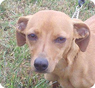 Dachshund Mix Dog for adoption in Harrisonburg, Virginia - Sophia ($75 off)