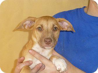 Beagle Mix Puppy for adoption in Oviedo, Florida - Brandy
