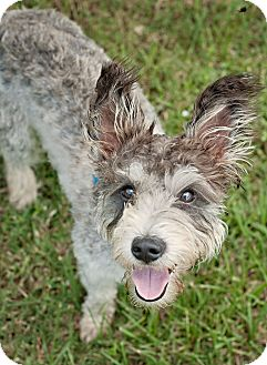 Schnauzer (Standard)/Poodle (Miniature) Mix Dog for adoption in Portsmouth, Rhode Island - Dominick-w/video!