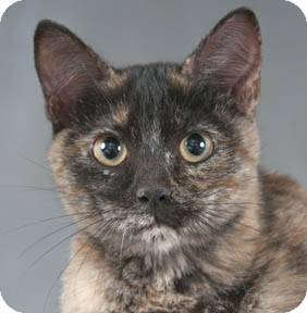 Domestic Shorthair Kitten for adoption in Chicago, Illinois - Laverne