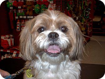 Shih Tzu Dog for adoption in Chesterfield, Michigan - Axle 2013 (M)
