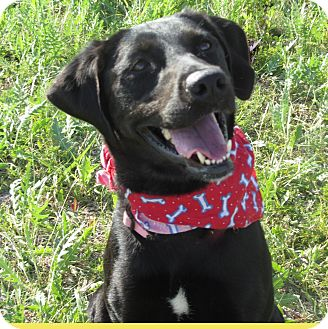 Labrador Retriever/Border Collie Mix Dog for adoption in Hillsboro, Texas - Ebony