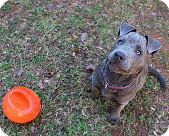 Pit Bull Terrier/American Pit Bull Terrier Mix Puppy for adoption in Atlanta, Georgia - LuLu