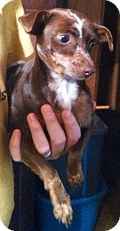 Chihuahua Dog for adoption in Carthage, North Carolina - Ella