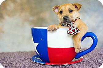 Shepherd (Unknown Type)/Retriever (Unknown Type) Mix Puppy for adoption in Houston, Texas - Dicaprio