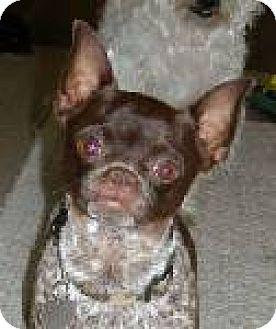 Chihuahua/Pug Mix Dog for adoption in Long Beach, California - NIKO