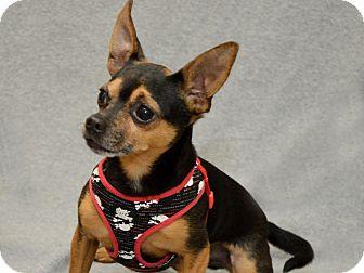 Chihuahua Dog for adoption in Warren, Michigan - Meeko