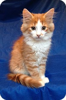 Maine Coon Kitten for adoption in Nashville, Tennessee - Micah