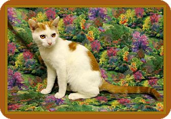 Domestic Shorthair Cat for adoption in Tracy, California - Tails