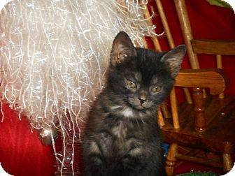 American Shorthair Kitten for adoption in Northfield, Ohio - Shaunna
