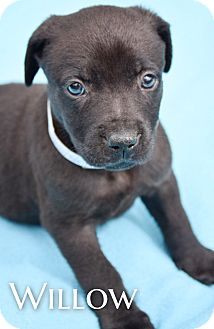 Labrador Retriever Mix Puppy for adoption in DFW, Texas - Willow