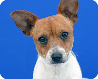 Terrier (Unknown Type, Small)/Jack Russell Terrier Mix Dog for adoption in LAFAYETTE, Louisiana - CONRAD