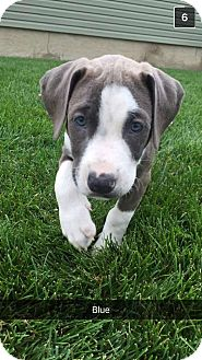 Pit Bull Terrier Mix Puppy for adoption in Valley Stream, New York - Blue